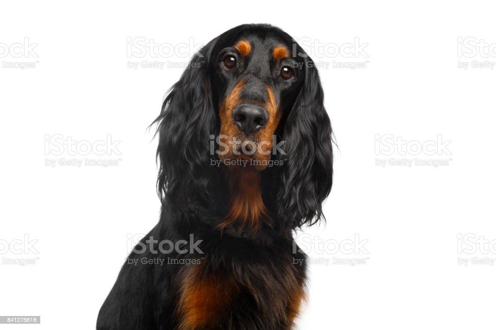 Retrato de cachorro Setter inglês - foto de acervo