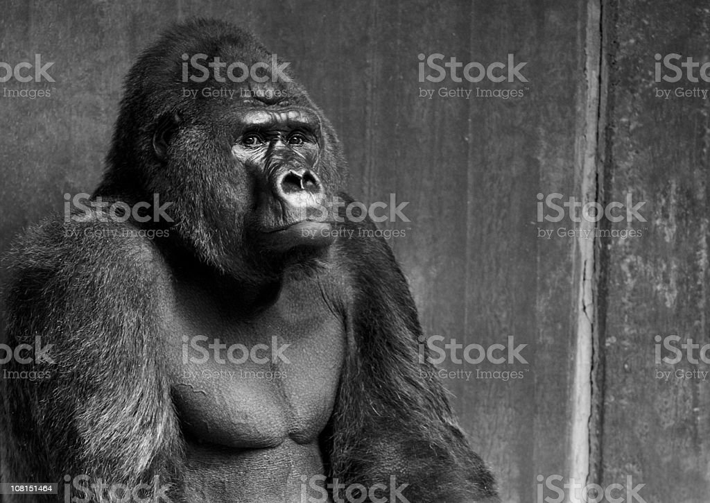 Portrait of Gorilla, Black and White royalty-free stock photo