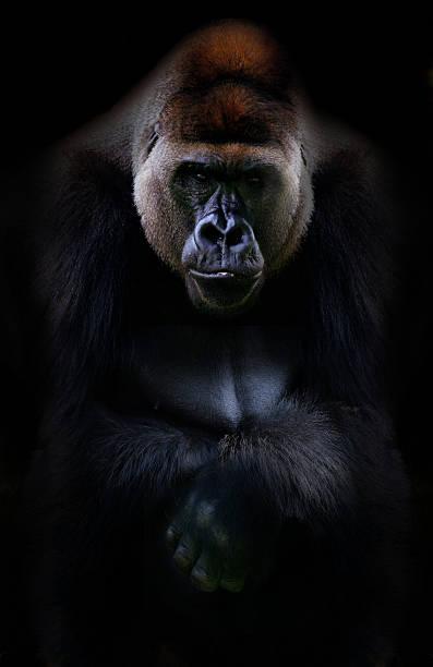 portrait of gorilla - gorilla stock photos and pictures