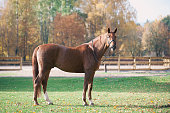 istock Portrait of graceful red horse standing on manege 1184650572