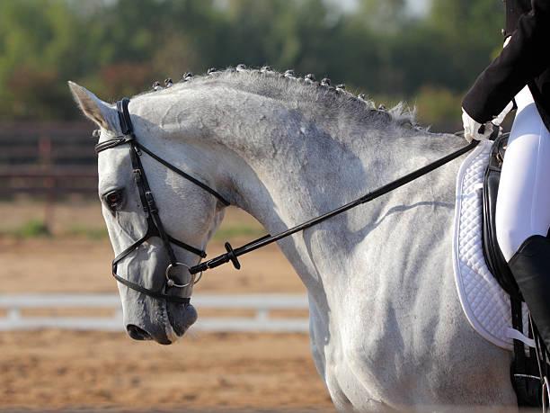 Portrait of gray dressage horse stock photo