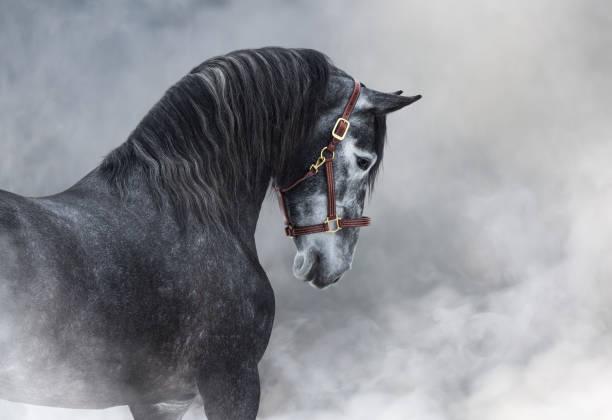 porträt des grauen reinrassigen spanischen pferdes in rauch. - andalusier pferd stock-fotos und bilder