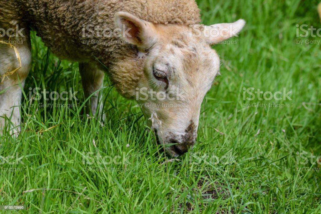 Portrait Of Grazing Ewe Sheep Stock Photo - Download Image