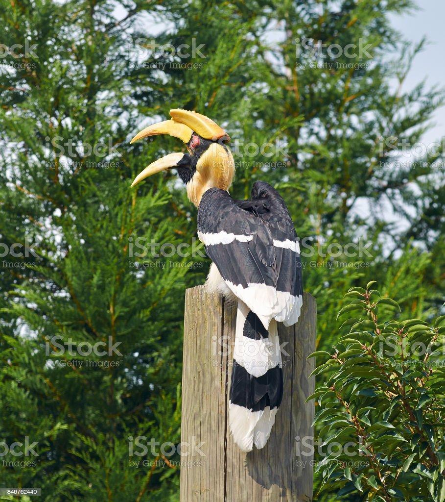 Portrait of Great hornbill (Buceros bicornis) close up. stock photo