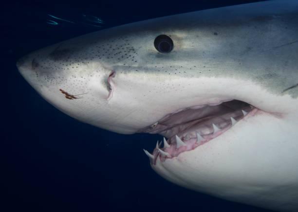 Portrait of Great White Shark stock photo