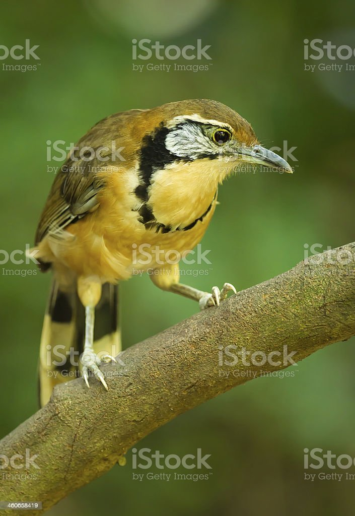 Portrait of Greater Necklaced Laughingthrush royalty-free stock photo