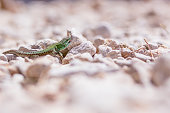 portrait of green lizard on rocks and stones.