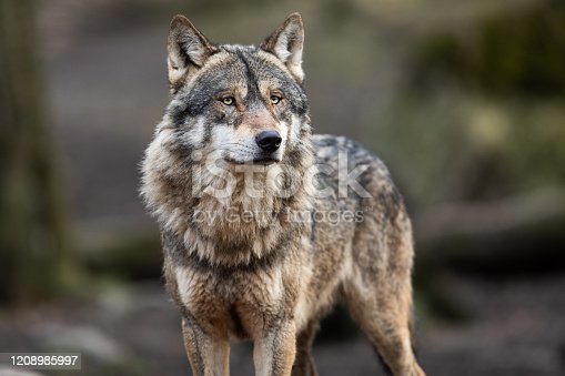 Portrait of grey wolf in the forest