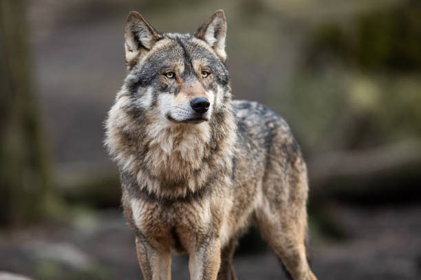 portrait of grey wolf in the forest - lupo foto e immagini stock