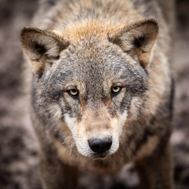 Porträtt av grå varg i skogen bildbanksfoto