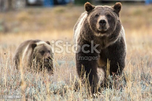The famous grizzly bear 399 roaming in a field in Grand Teton National Park in Wyoming.