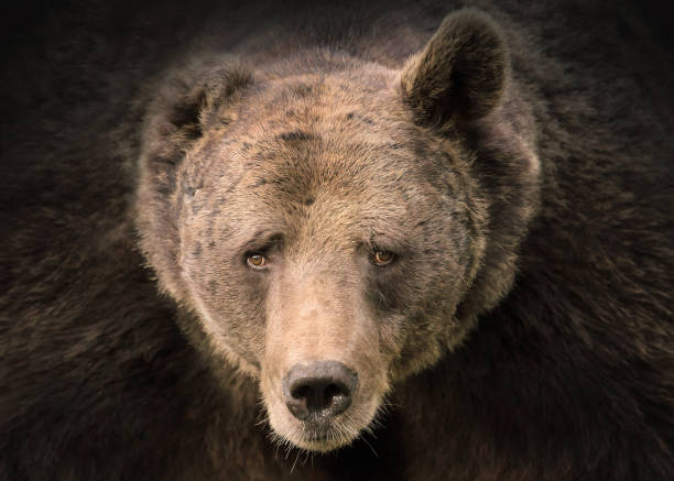 Portrait of Grizzly bear stock photo