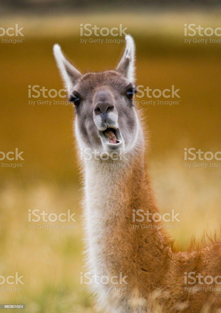 Portrait of guanaco. stock photo