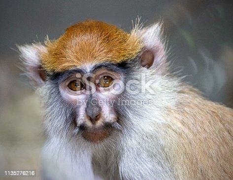 portrait of guenon monkey
