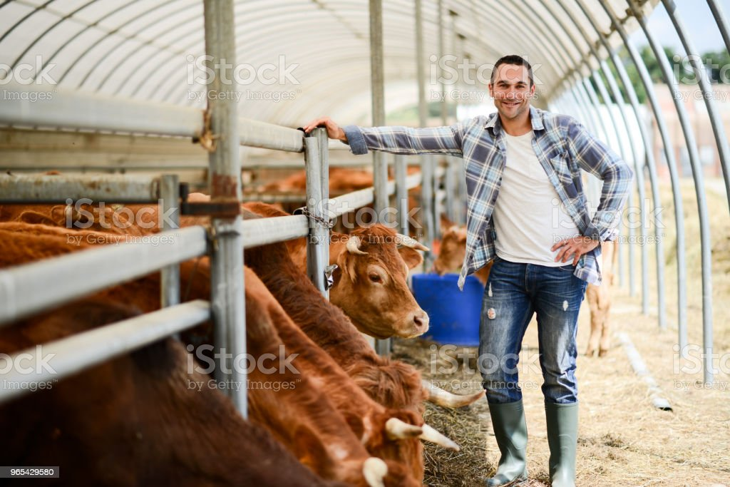 portrait of handsome farmer in a livestock small breeding husbandry farming production taking care of charolais cow and cattle zbiór zdjęć royalty-free