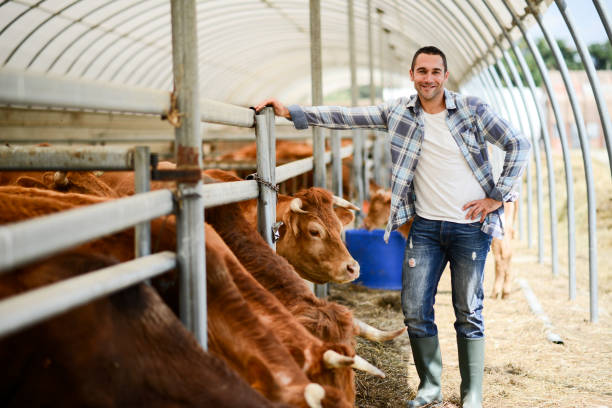 portrait of handsome farmer in a livestock small breeding husbandry farming production taking care of charolais cow and cattle - organic farm stock photos and pictures