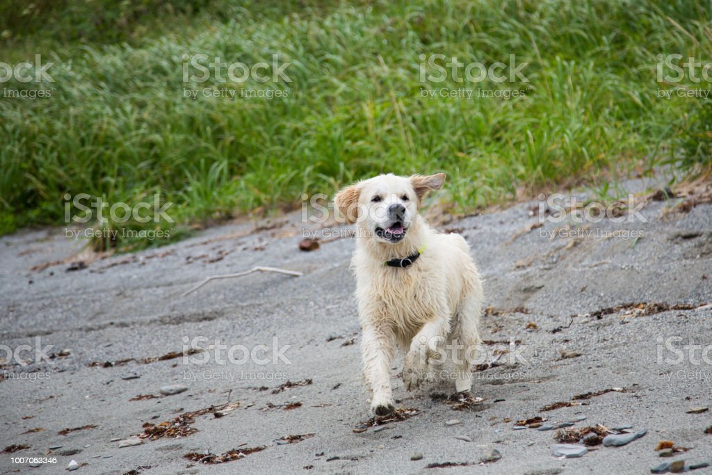 Portrait of happy and Excited golden retriever dog running on the beach stock photo