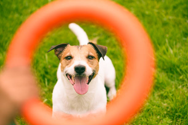 Portrait of happy dog through orange interactive puller toy picture id1170327411?b=1&k=6&m=1170327411&s=612x612&w=0&h=nqa 9hagb582yt3kl95qguuxynjxmu1fbgxe9jyvhbg=