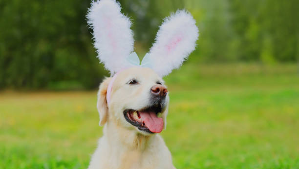 Portrait of happy funny golden retriever dog with rabbit ears in a park stock photo