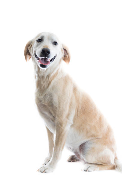 Portrait of happy large dog picture id859937232?b=1&k=6&m=859937232&s=612x612&w=0&h=f58goxh3aeqoyjcqtudjaxp emfxfgjnxqjow yy5cq=