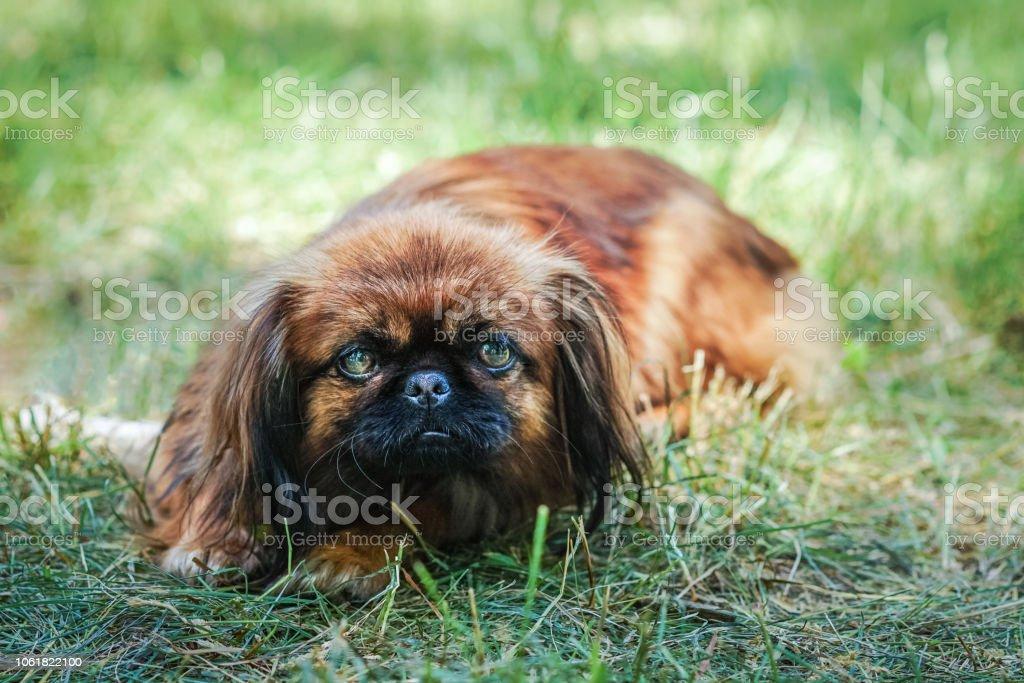 Porträt Von Glücklich Pekinese Hund Gras Auf Sommer Spaziergang Liegen Stockfoto Und Mehr Bilder Von Braun