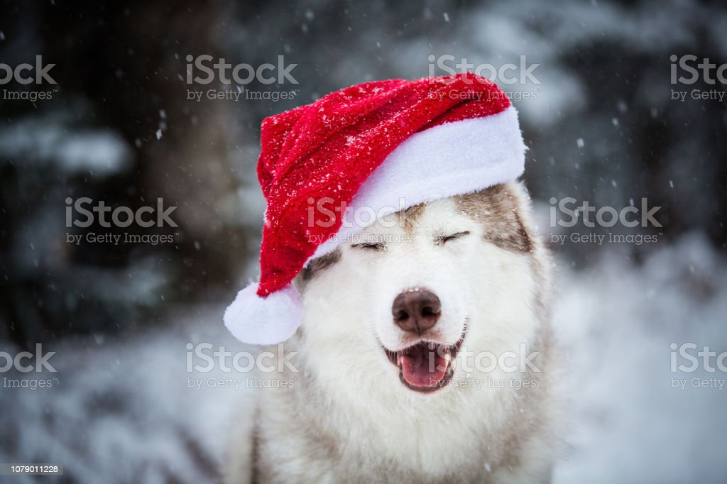 Portrait of happy Siberian Husky dog with closed eyes wearing santa claus hat in the winter forest on snow background stock photo