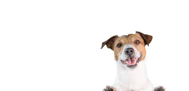 Portret van gelukkige glimlachende hond van de Terriër van Jack Russell die met poten op rand leunt foto
