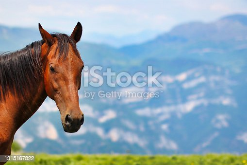 istock Portrait of happy stallion in the mountains on a sunny day. 1315167822