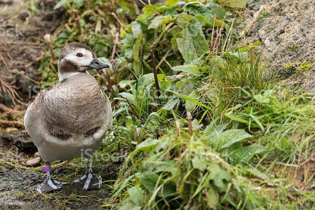 Portrait of Harlequin Duck Histrionicus Histrionicus stock photo