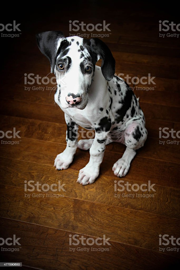 Portrait Of Harlequin Great Dane Puppy Stock Photo Download Image Now Istock