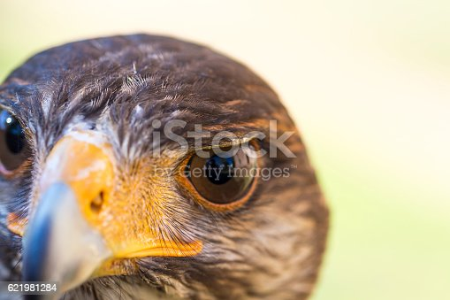 Portrait of Harris hawk. Close-up