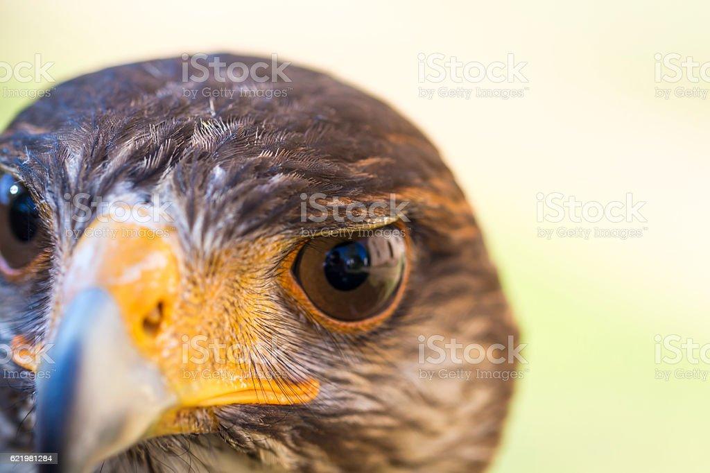 Portrait of Harris hawk stock photo