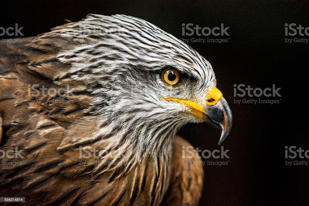 Portrait of a hawk against dark background. Bird of prey is staring...