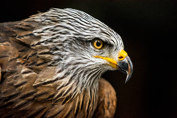 Portrait of hawk against dark background (high ISO, shallow DOF) stock photo