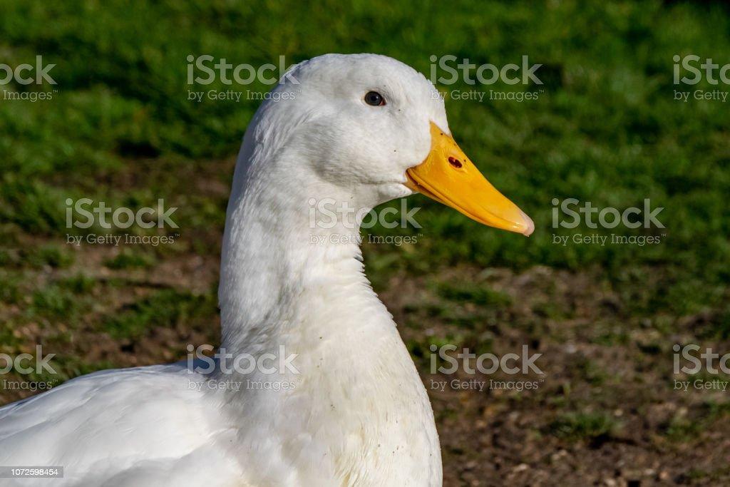 Portrait of heavy white American Pekin Duck stock photo
