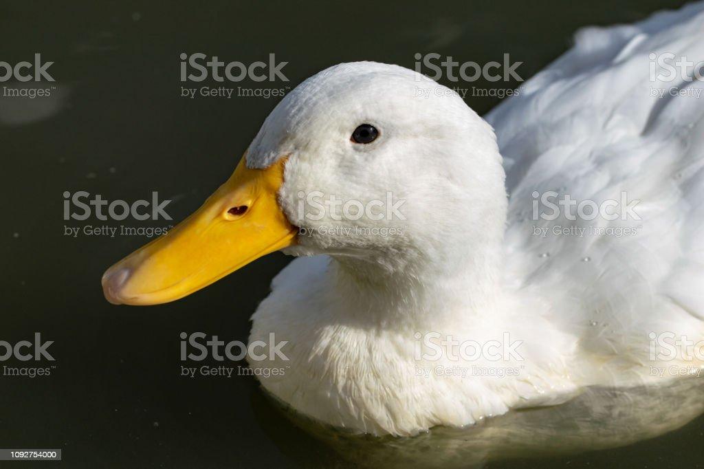 Portrait of heavy white Pekin Duck stock photo
