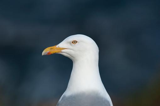 California gull nesting along the shore of Elkhorn Slough, California, USA.\n\nTaken at Elkhorn Slough, California, USA.