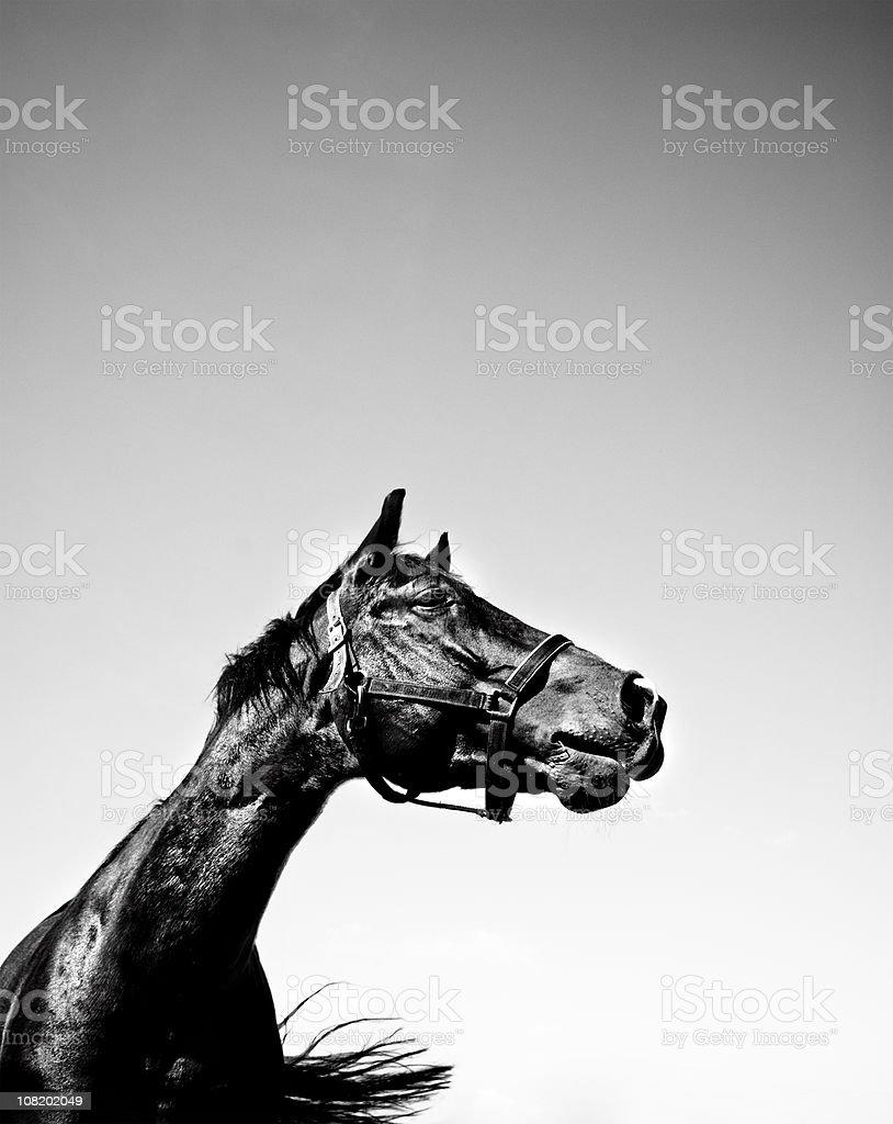 Portrait de cheval noir et blanc - Photo