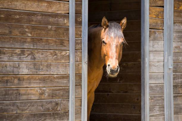 Portrait of horse in barn door. stock photo
