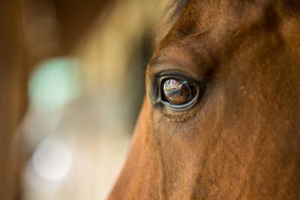 Portrait of horse picture id999168724?b=1&k=6&m=999168724&s=612x612&w=0&h=vw51r 6mlcxtutbx67ubmihfgzgqdgljiyffktb32uq=