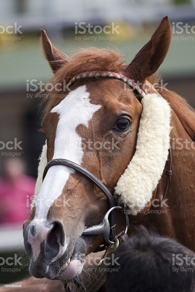 Portrait of Horse Ready to race at Hippodrome royalty-free stock photo