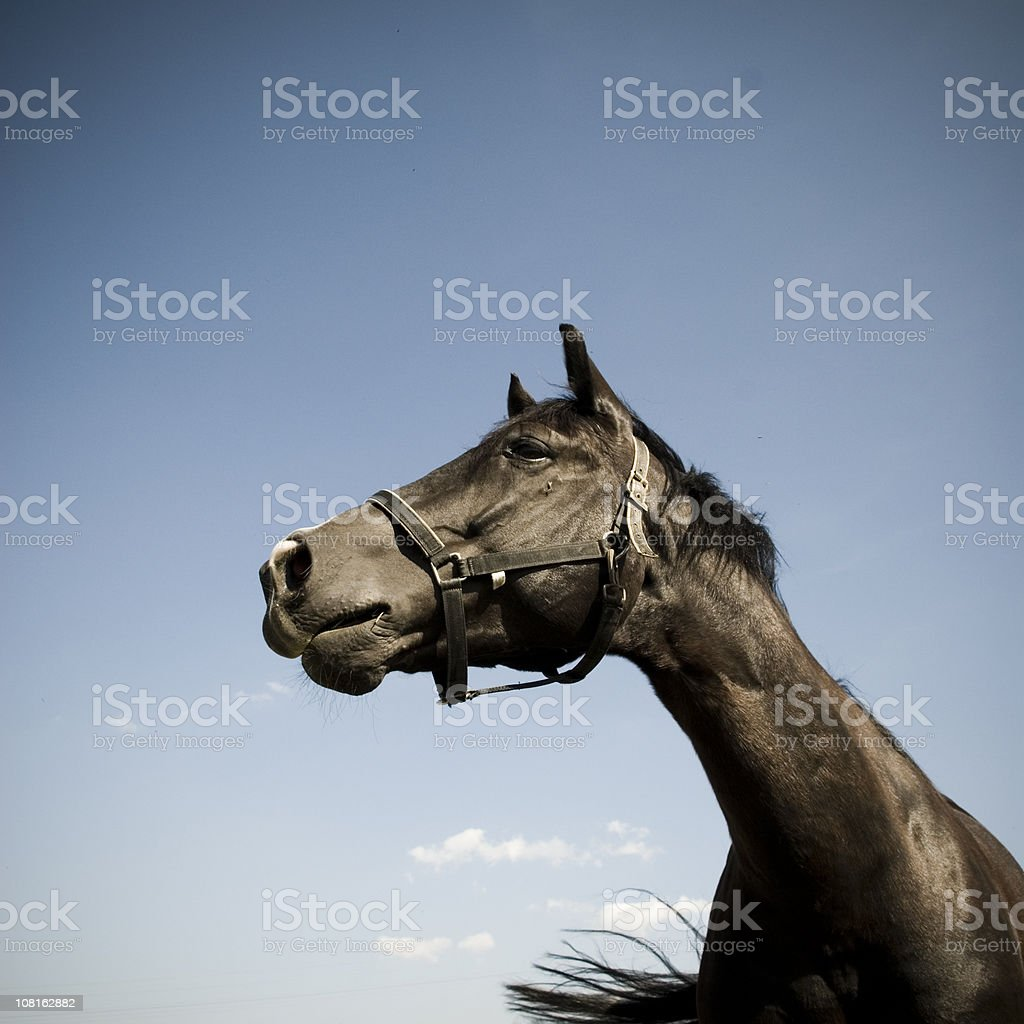 Portrait of Horse with Blue Sky stock photo