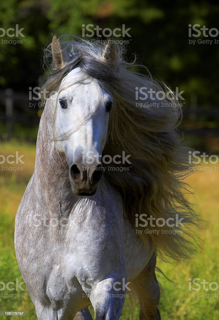 Portrait of Horse with Mane Blowing in Wind  Stallion Andalusian stock photo