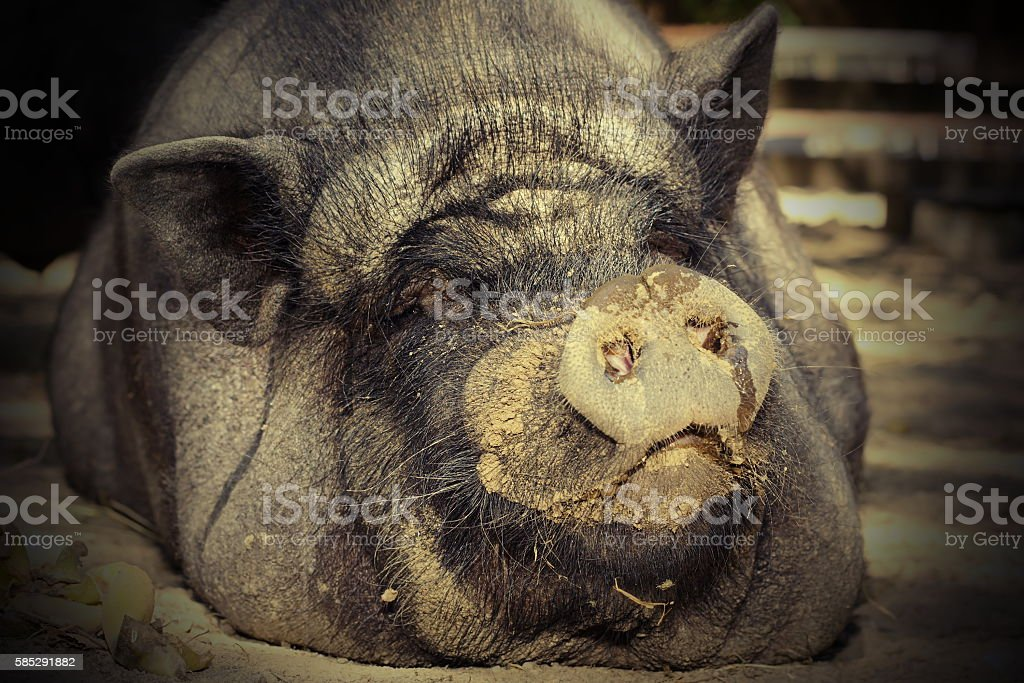 portrait of huge pig stock photo