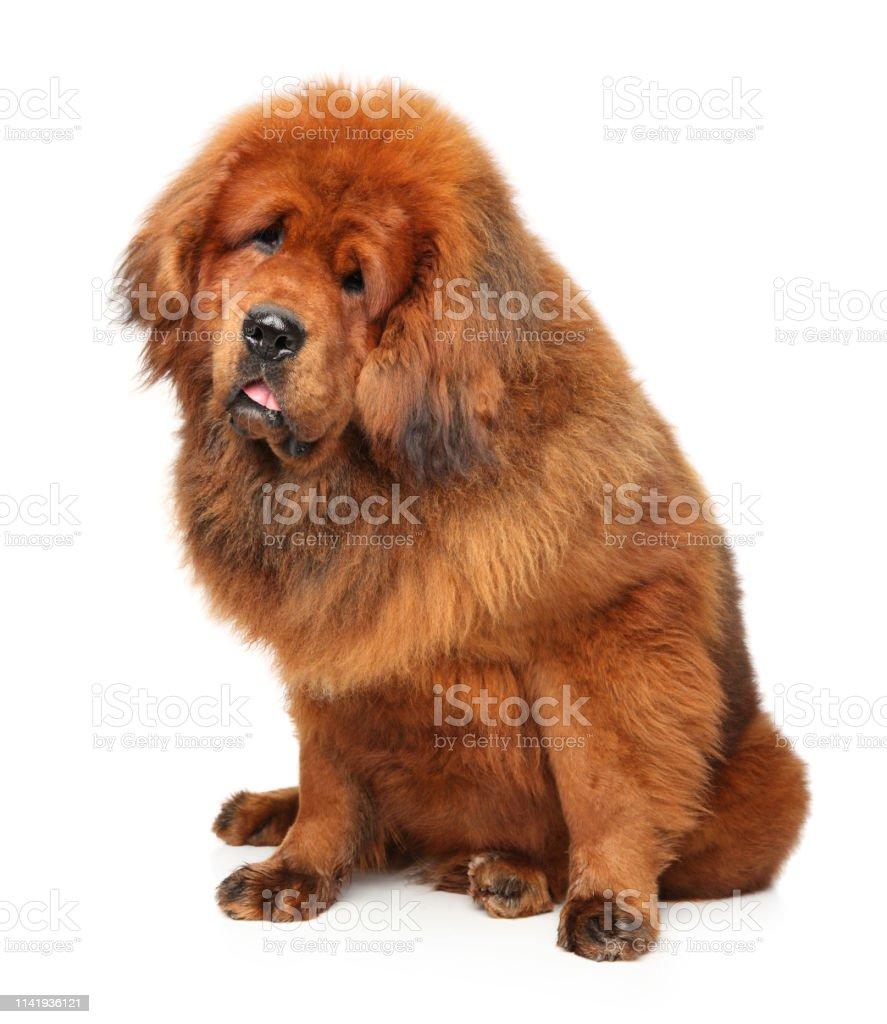 Portrait Of Huge Red Tibetan Mastiff Stock Photo Download Image Now Istock