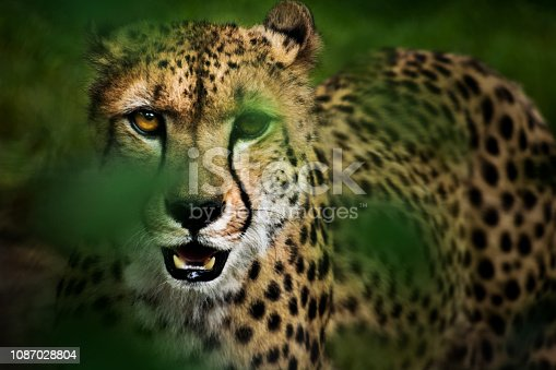 Portrait of a hunting cheetah trough leaves of bush. Big cat is stalking prey estimating a chance for a successful hunt. On its face stand out characteristic black lines from eyes to the muzzle.