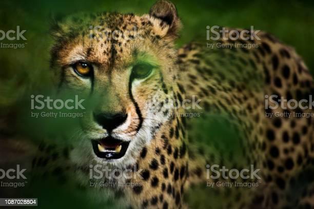 Portrait of hunting cheetah in high grass picture id1087028804?b=1&k=6&m=1087028804&s=612x612&h=zvipdrzrvbn7lbzdopcppr 984vqrd2m0 ksmwwtifu=