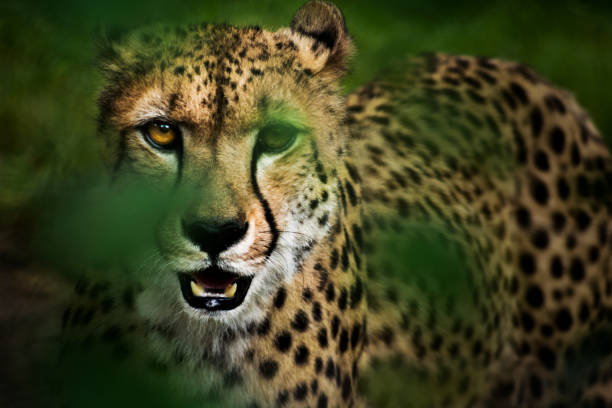"""Portrait of hunting cheetah in high grass Portrait of a hunting cheetah trough leaves of bush. Big cat is stalking prey estimating a chance for a successful hunt. On its face stand out characteristic black lines from eyes to the muzzle. wildlife or """"wild animal"""" stock pictures, royalty-free photos & images"""