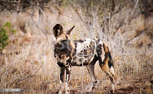 Portrait of Hunting painted dog with big ears, beautiful wild animal. Wildlife from South Africa
