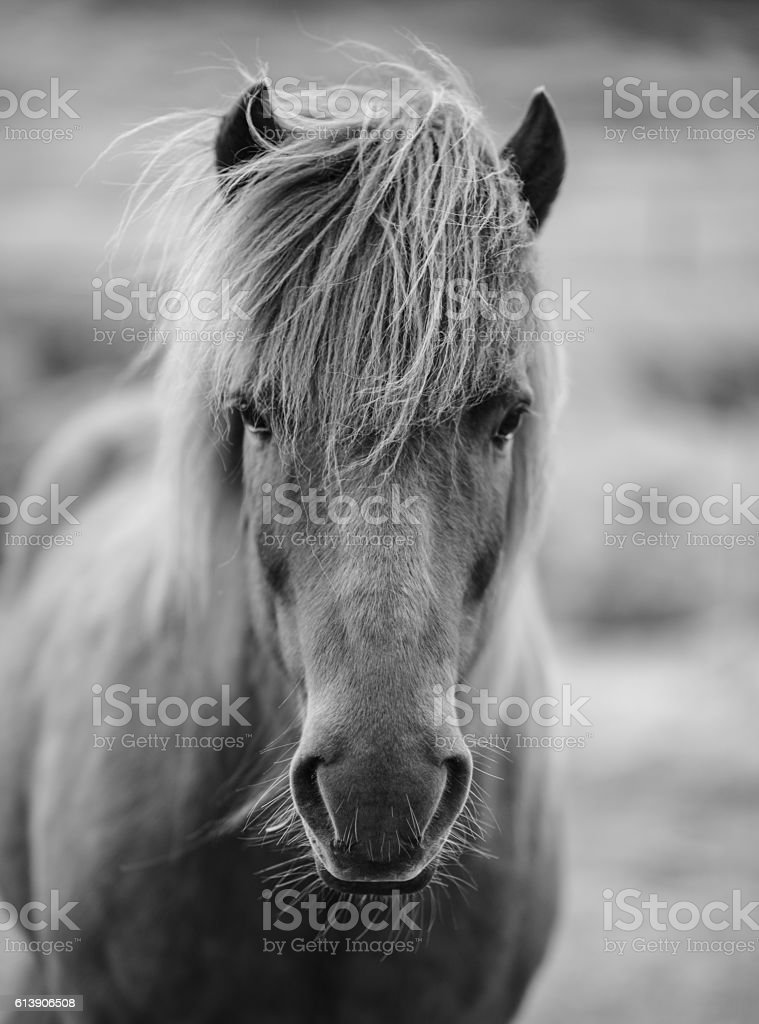 Portrait of Icelandic horse in black and white stock photo